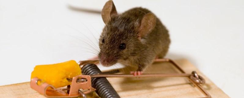 эффективное уничтожение мышей