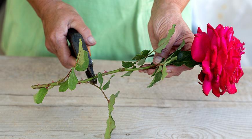 Выращивание роз из черенка букета